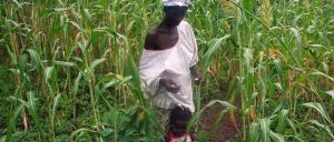 Article - Agriculture : le mil et le sorgho