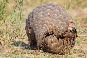 Article - Le coronavirus et l'« effet pangolin » : l'exposition accrue aux espèces sauvages est une menace pour la santé