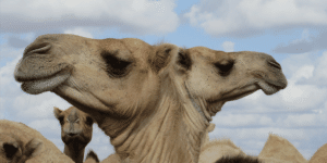 Bulletin - Fifty Years of Research on Pastoralism and Development