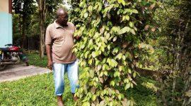 Article - Cameroun : Le poivre de Penja tient bon
