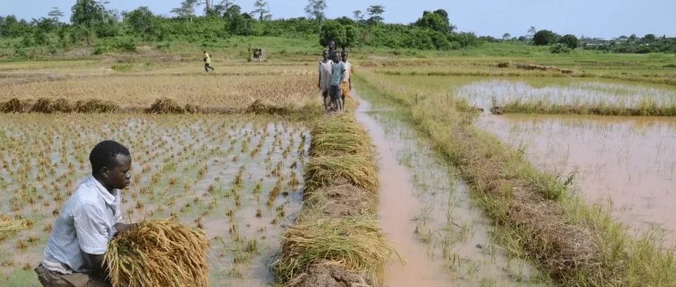 Podcast - Dis l'Afrique, c'est loin l'autosuffisance en riz ?