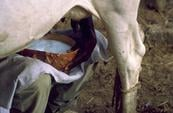 Rapport - Local ou importé : quelle est l'option la plus durable pour le lait au Sahel ?