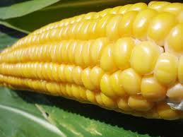Bulletin de veille N°132 - Spécial OGM - juillet 2008