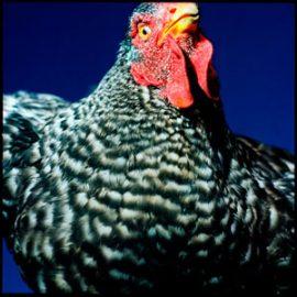 Cameroun - La bataille des poulets congelés
