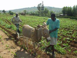 La traction animale dans le contexte en mutation de l'Afrique subsaharienne : enjeux de développement et de recherche.