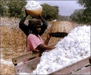 Mali : Le coton cède le terrain au riz