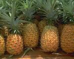 Côte d'Ivoire: Filière ananas - banane : L'ananas ivoirien perd le marché, la banane maintient la cadence