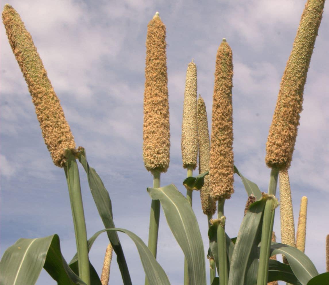 Le mil, aliment du futur au Sahel