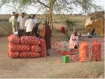 Fête de l'oignon local à Potou : La production couvrira 70 % des besoins