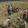 Sierra Leone : new agriculture plan sprouts