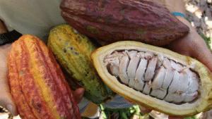 La filière cacao-café en débat à Kribi