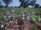Fixation des prix du coton par le gouvernement béninois