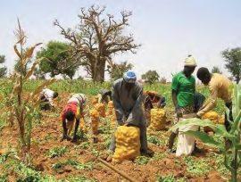 Structuration d'une filière pomme de terre en Afrique sahélienne