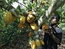 Cacao épisode V: lettre ouverte à la Banque mondiale, au FMI et à la BAD