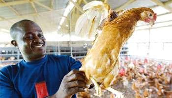 Le poulet, une espèce protégée