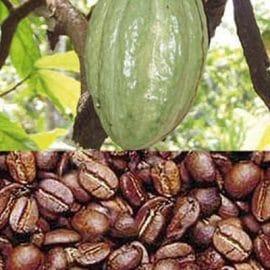 Cameroun: Le cacao au centre des réflexions entre les professionnels