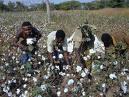 L'économie cotonnière des pays africains de la zone franc  dans la tourmente de la mondialisation. Une illustration à partir de l'exemple du Burkina Faso