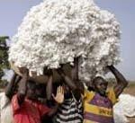 Prix de cession de la graine de coton au Bénin La Sodeco veut « tuer » la filière oléagineuse