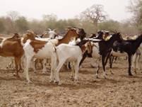 Le projet d'ordonnance relative au pastoralisme est adopté au Niger