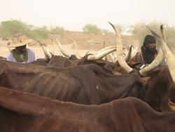 NIGER: Forcés de vendre du bétail pour une poignée de dollars