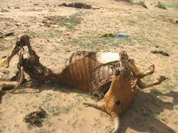SOMALIE: De l'aide pour les éleveurs déplacés par la sécheresse