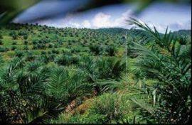 Développement agricole : un espoir pour la production du Palmier à huile