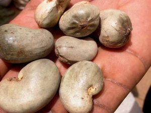 Pour la valorisation des productions d'anacarde dans la région de Sikasso : L'Espagne débloque 4