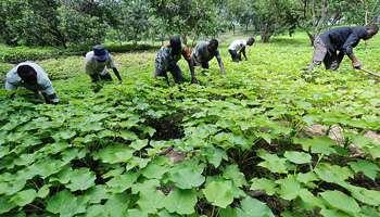 Une nouvelle étude sur les cultures pour la bioénergie en Afrique