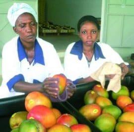 Filière mangue au Mali : un vrai potentiel économique