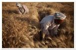 Développer des cultures résistantes au changement climatique : Ouverture de l'appel à propositions 2010