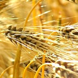 Agriculture : Inquiétudes sur la hausse des prix des céréales