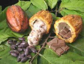 Agriculture : Ivoiriens et Ghanéens veulent peser sur le marché du cacao