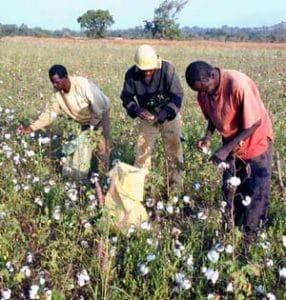 Togo : l'espoir revient à nouveau dans la filière coton