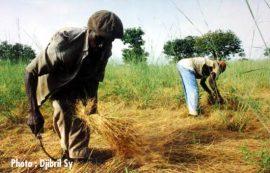 La production céréalière pourrait augmenter dans des pays de la CEDEAO et du CILSS