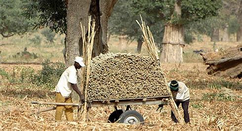 Campagne agricole 2010-2011 : Des excédents vivriers au Sahel et Afrique de l'Ouest