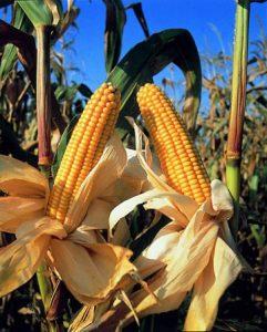 Le maïs économe en eau pourrait-il relancer la sécurité alimentaire ?