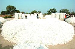 Campagne de commercialisation du coton - Le kilogramme va passer à 200 F/CFA