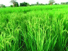 Création d'une Société de promotion et de commercialisation du riz local
