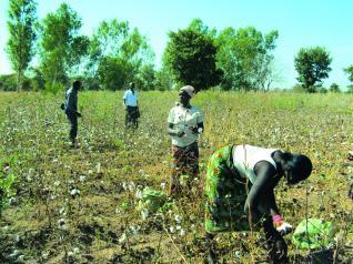Cultures OGM en Afrique de l'Ouest : Après le Burkina Faso, bientôt le Mali, le Togo, le Sénégal…
