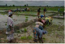 Des investisseurs saoudiens seraient prêts à prendre le contrôle de la production de riz au Sénégal et au Mali