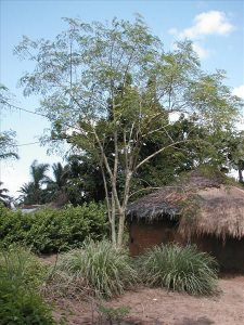 Le Moringa : Un arbre qui donne la vie !