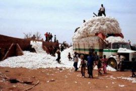 L'utilisation des OGM au Burkina-Faso : Un pari pour relancer le coton