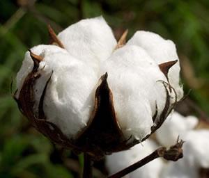 Le cours du coton au plus haut depuis la guerre de Sécession