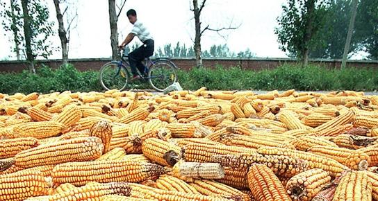 Les OGM reculent-ils vraiment en Europe ?