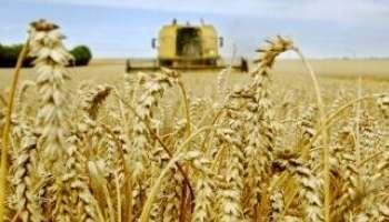 Hausse de la production mondiale de blé en 2011