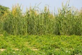 Sahel : excédent céréalier dans au moins deux pays