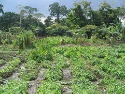 Bas-Congo : planter et récolter des fruits en peu de temps