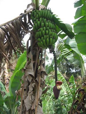 Le Cameroun glisse sur une peau de banane documentaire