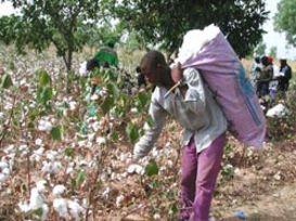 Ou va le coton ouest-africain ?
