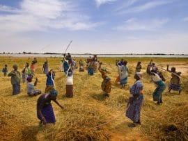 Mali: prévisions de la production agricole